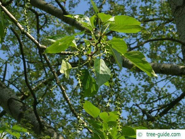 balsam poplar (Populus balsamifera) fruit