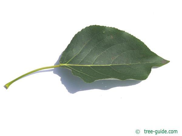 balsam poplar (Populus balsamifera) leaf