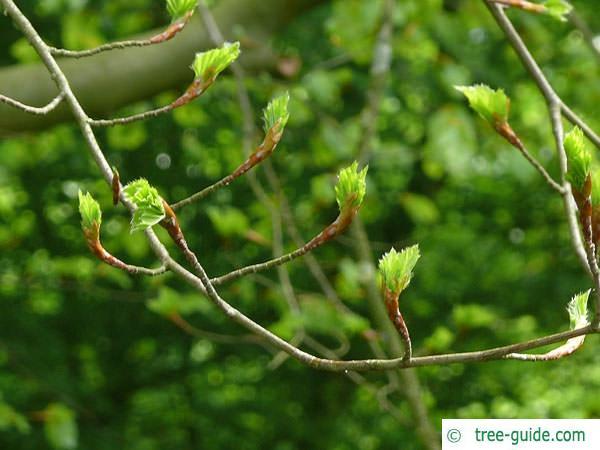 beech (Fagus sylvatica) budding