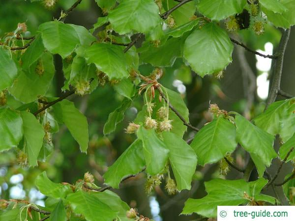 beech (Fagus sylvatica) flowers