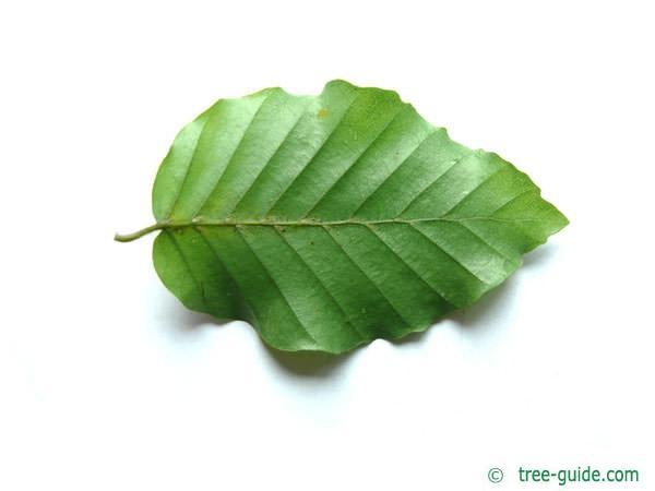 beech (Fagus sylvatica) leaf underside