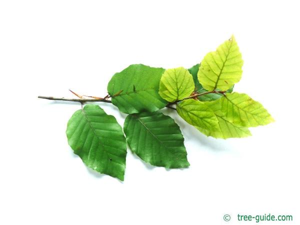 beech (Fagus sylvatica) leaves