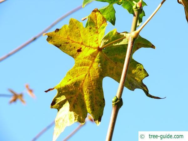 big leaf maple (Acer macrophyllum) autumn colors