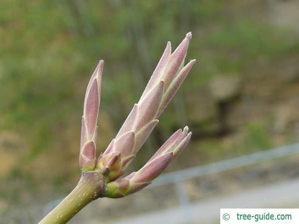 big leaf maple (Acer macrophyllum) April buds