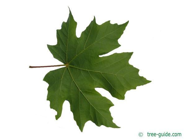 big leaf maple (Acer macrophyllum) leaf underside