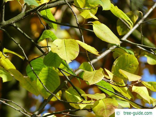 bitter berry (Prunus virginiana) leaves in fall