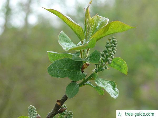 bitter berry (Prunus virginiana) blossom buds