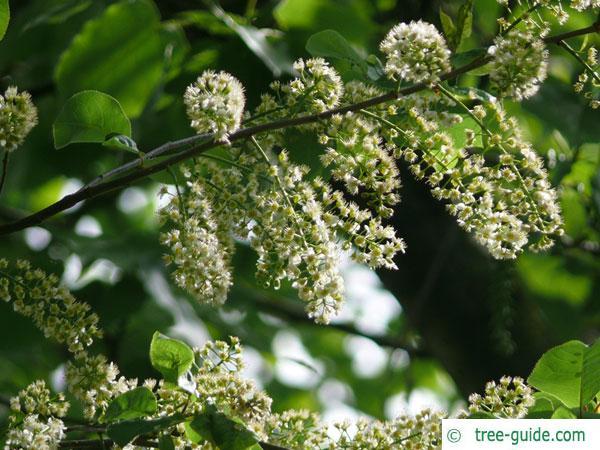 bitter berry (Prunus virginiana) blossoms