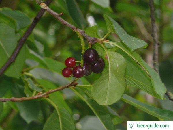 bitter berry (Prunus virginiana) fruit