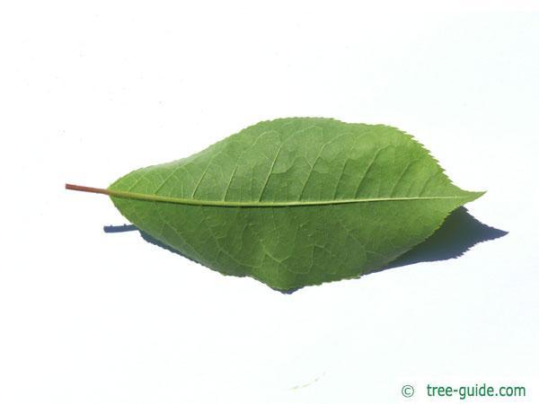 bitter berry (Prunus virginiana) leaf underside