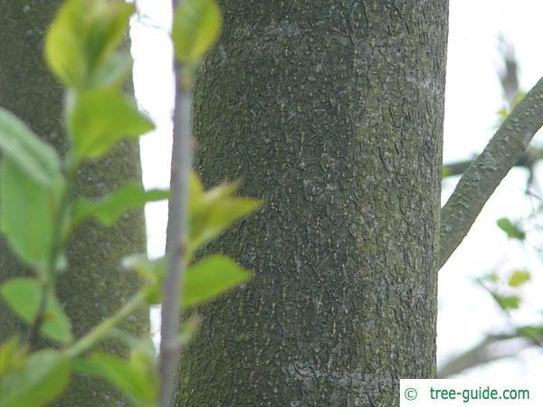 bitter berry (Prunus virginiana) trunk / bark