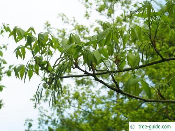 bitternut (Carya cordiformis) flowers