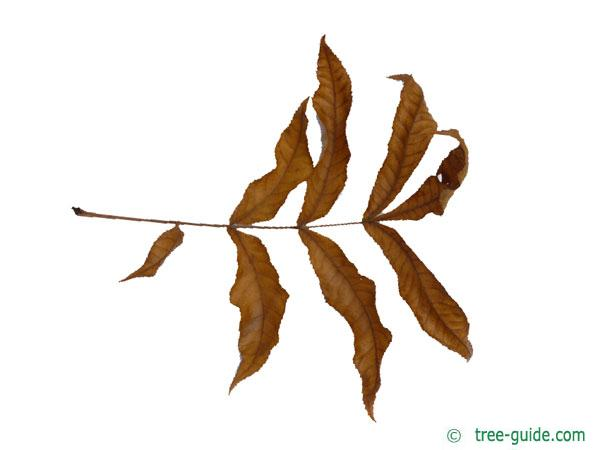 bitternut (Carya cordiformis) autumn colouring
