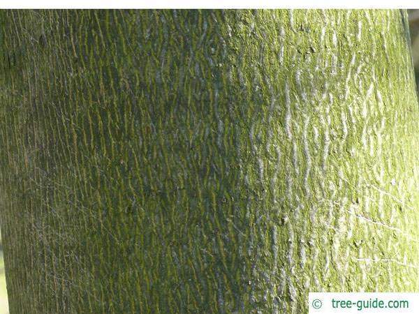 bitternut (Carya cordiformis) trunk