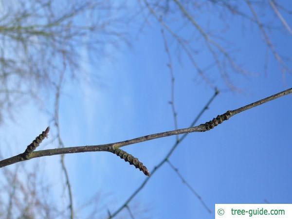 black birch (Betula lenta) axial buds