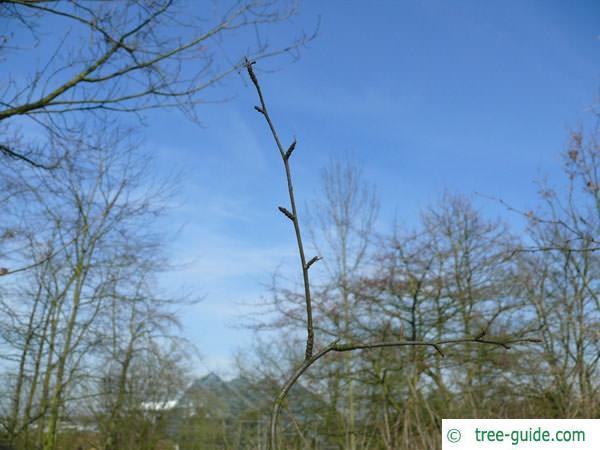 black birch (Betula lenta) bud