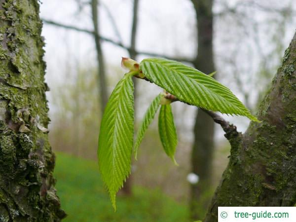 black birch (Betula lenta) budding