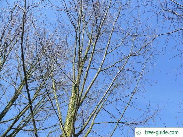 black birch (Betula lenta) tree in winter