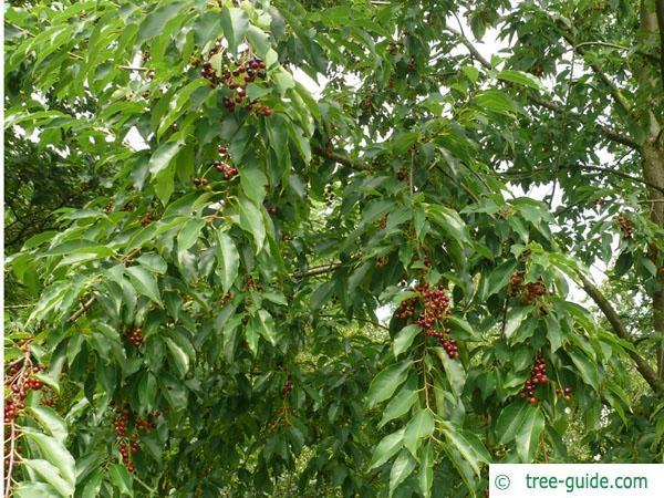black cherry (Prunus serotina) fruits