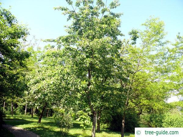black cherry (Prunus serotina) tree