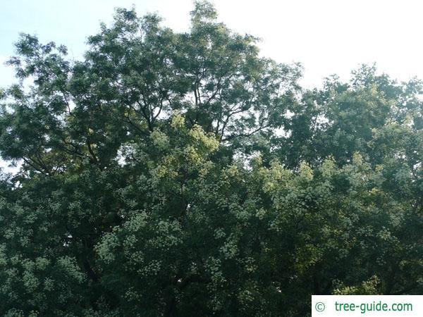 black locust (Robinia pseudoacacia) Blüten