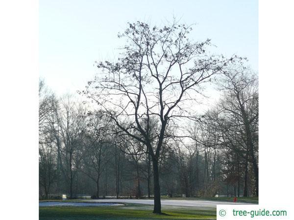 black locust (Robinia pseudoacacia) tree in winter