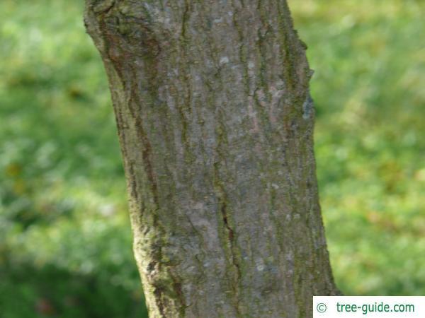 Black mulberry stem / tunk / bark