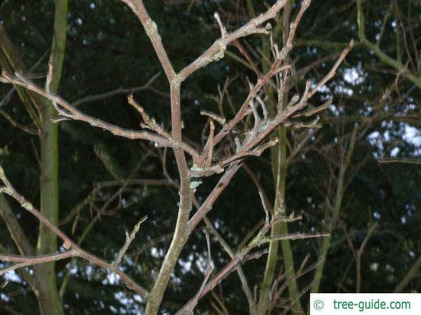 Black mulberry branches