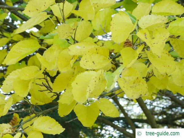 Black mulberry leaves in autumn