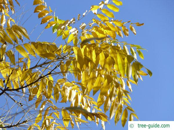 black nut (Juglans nigra) autumn foliage