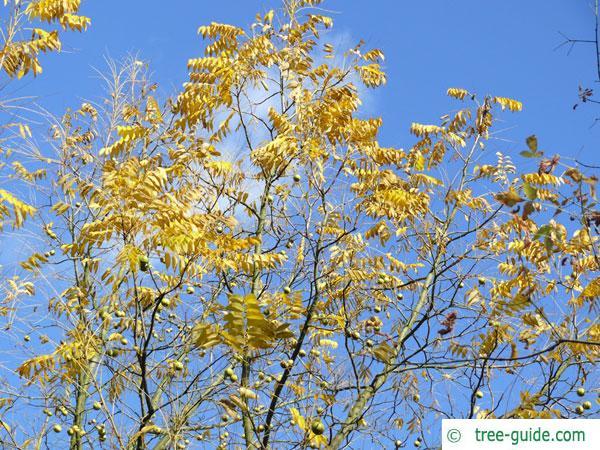 black nut (Juglans nigra) tree crown autumn
