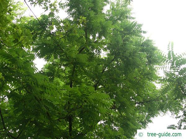 black nut (Juglans nigra) tree crown in winter