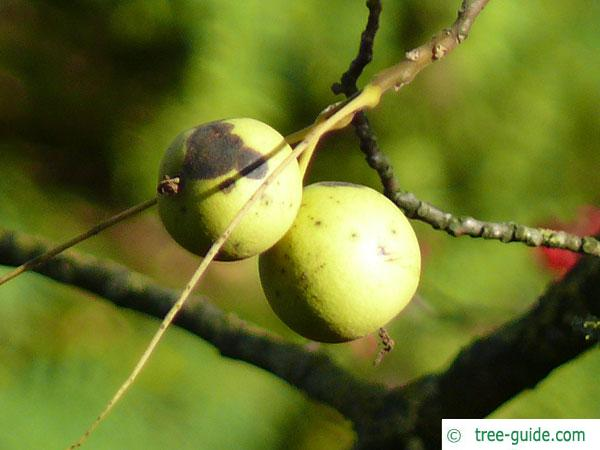 black nut (Juglans nigra) fruit