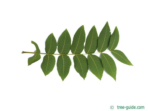 black nut (Juglans nigra) leaf underside