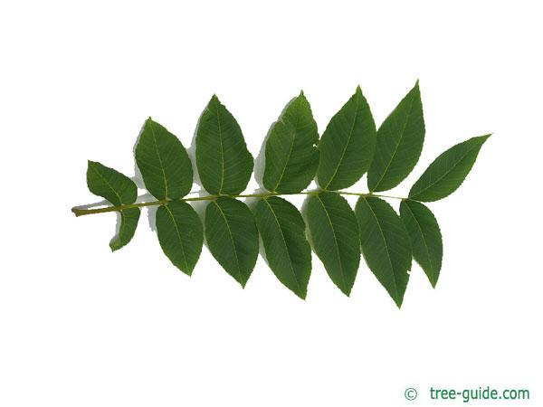 black nut (Juglans nigra) leaf