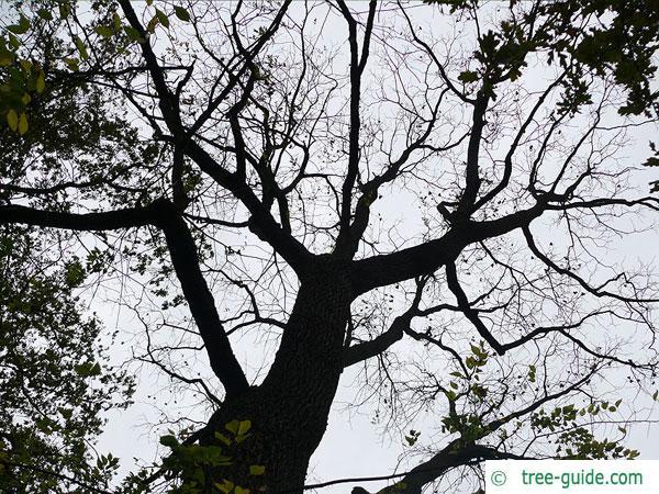 black nut (Juglans nigra) crown in winter