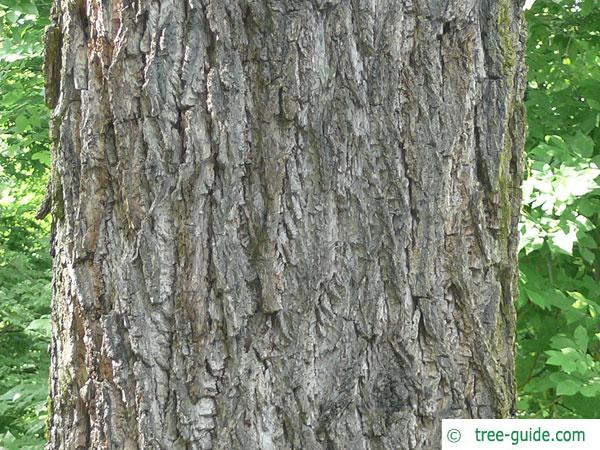 black nut (Juglans nigra) trunk / bark