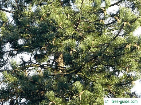black pine (Pinus nigra) branches