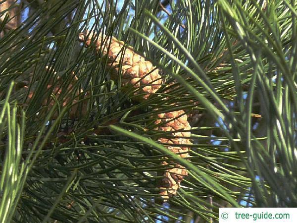 black pine (Pinus nigra) cones