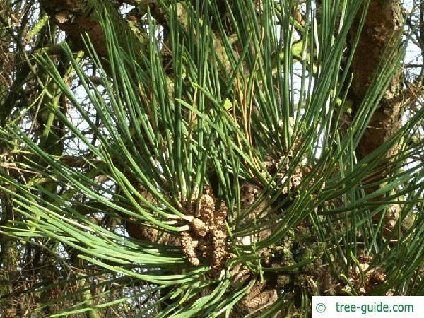 black pine (Pinus nigra) m cones
