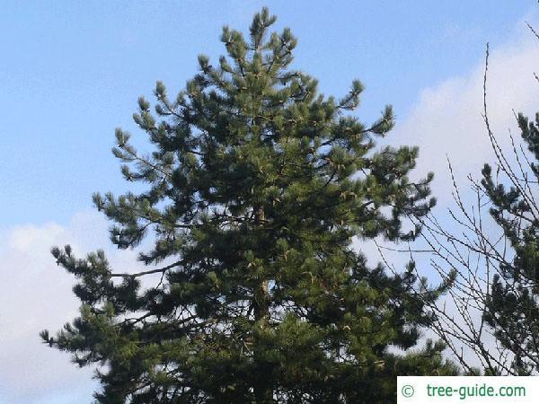 black pine (Pinus nigra) tree