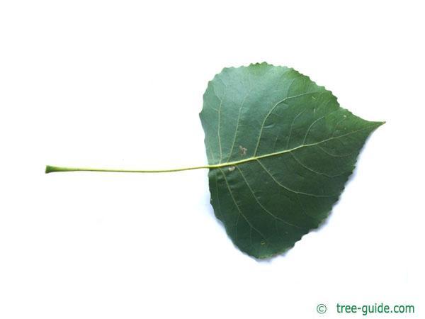 black poplar (Populus nigra) leaf underside
