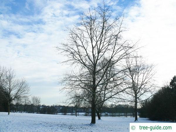 black poplar (Populus nigra) tree in winter