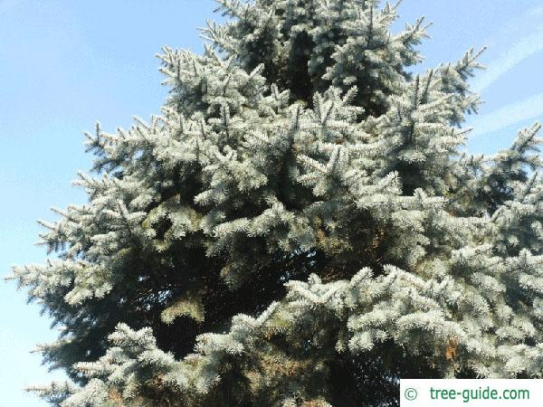 blue spruce (Picea pungens 'Glauca') tree