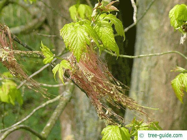boxelder (Acer negundo) flower