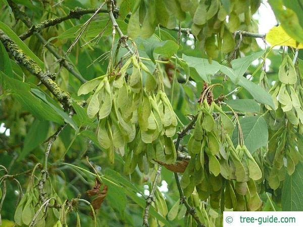 boxelder (Acer negundo) fruits