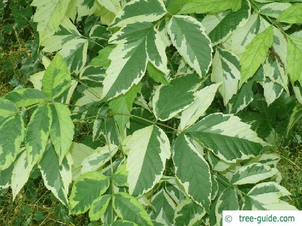 boxelder (Acer negundo var) leaf white green