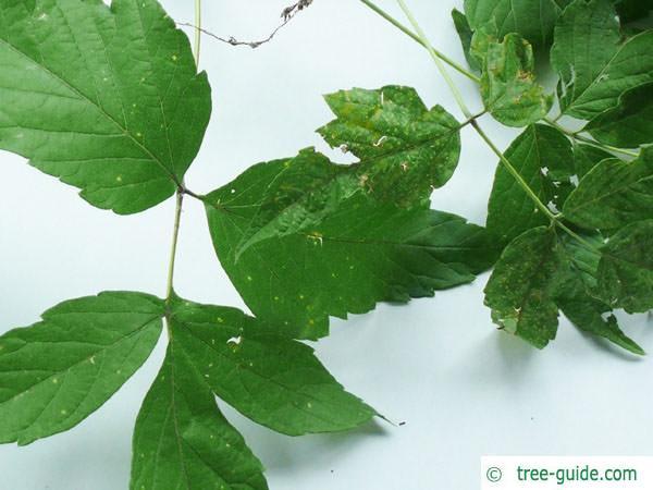 boxelder (Acer negundo) leaves