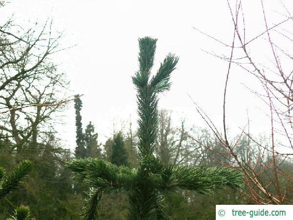 bristlecone pine (Pinus aristata) tip