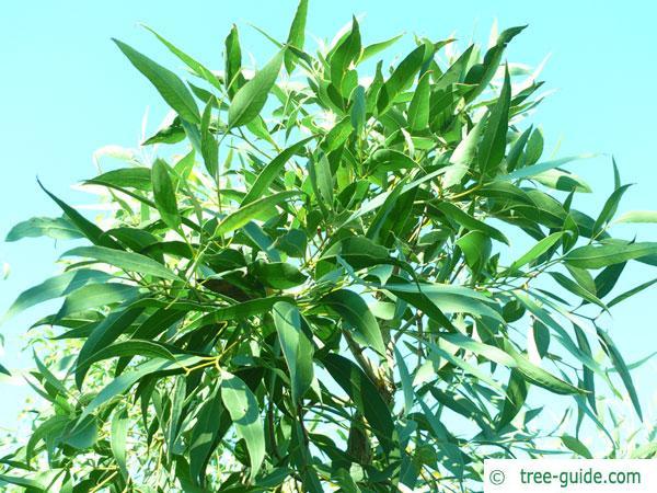 broad-leaved white mahogany (Eucalyptus umbra) crown